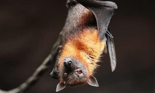 ultrasuoni-pipistrello