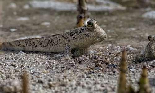 Le mangrovie ospitano molte specie, da piccoli anfibi a grandi predatori.