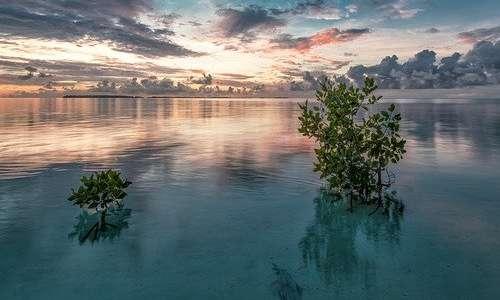 Le mangrovie vivono in acqua salata e con le radici si mantengono sopra il livello dell'acqua, ma possono finire sporadicamente sommerse a volte.