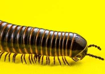 I miriapodi sono un subphylum degli artropodi.