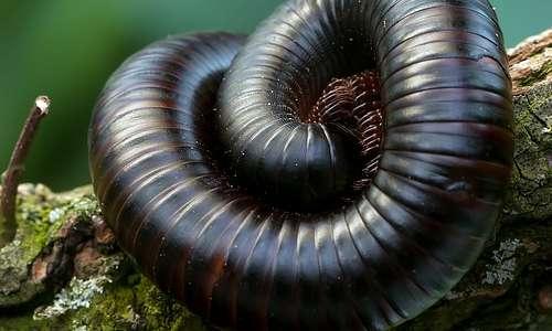 Tra i miriapodi, il record per la quantità di zampe appartiene ad un millepiede: circa 750 zampe in 3 centimetri.