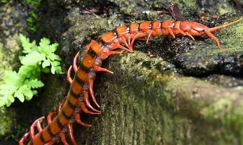 La specie più pericolosa per l'uomo, tra i miriapodi, è la Scolopendra gigantea: si trova in Sud America.
