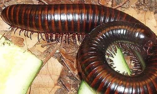 I miriapodi possono essere velenosi, ma non sono pericolosi per l'uomo, tranne casi eccezionali.
