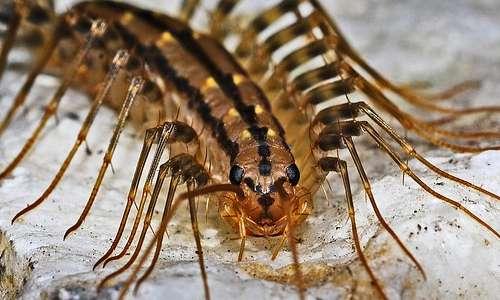 I miriapodi sono molto comuni negli ambienti urbani: ad esempio la scutigera si osserva spesso nelle case, soprattutto nelle ore notturne ì.